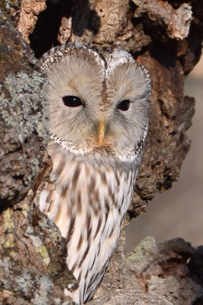 エゾフクロウ Ural Owl
