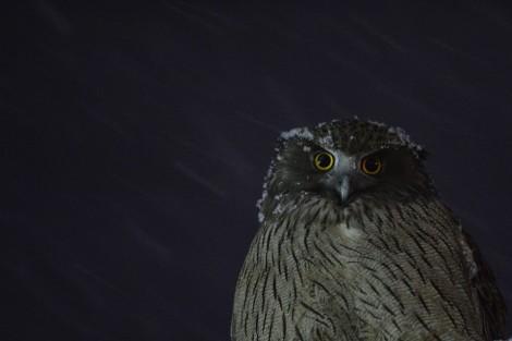 シマフクロウ Blakiston's fish owl 3