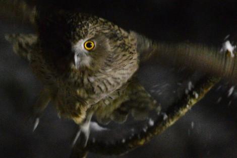 シマフクロウ Blakiston's fish owl 4