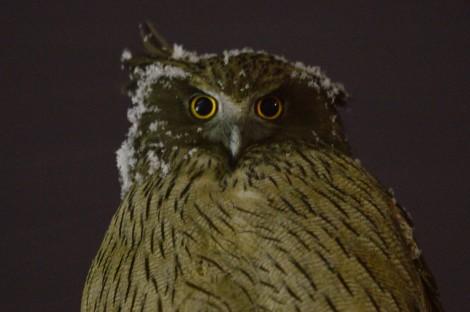 シマフクロウ Blakiston's fish owl 5