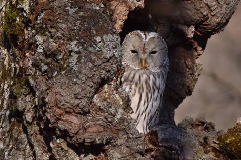 エゾフクロウ Ural Owl 2