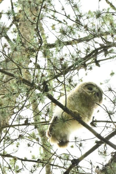 Ural Owl 4