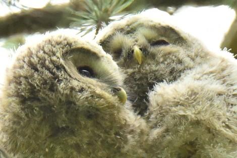 Ural Owl 2
